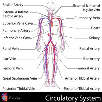 Endovascular Cardiopulmonary Bypass